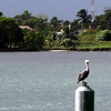 BROWN PELICAN - Belize