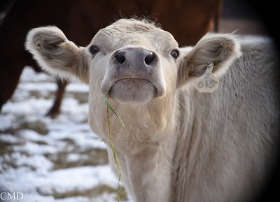 2017 Cows