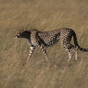 Cheetah DSC_9505
