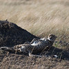 Cheetah DSC_9450