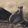 Cheetah DSC_9437