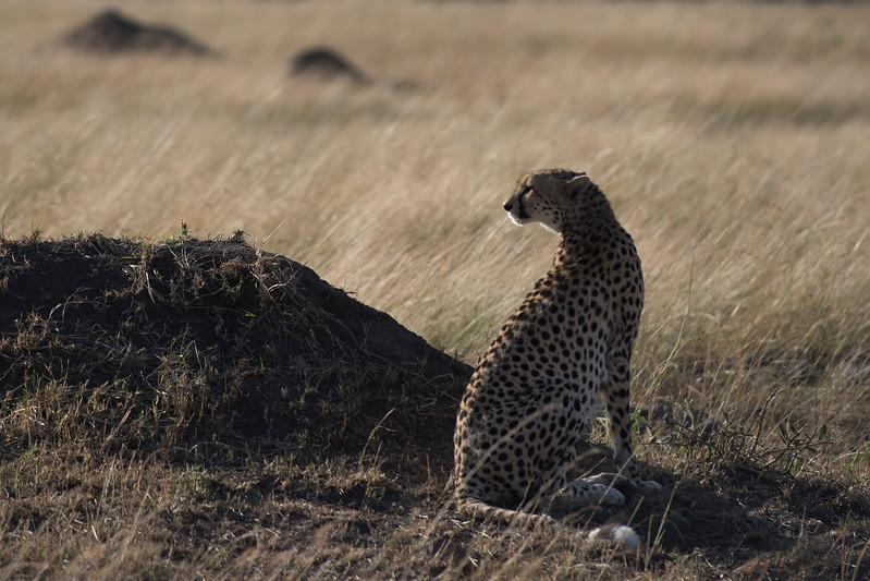 Cheetah DSC_9433