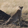 Cheetah DSC_9470