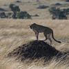 Cheetah DSC_9492