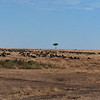 Wildebeest Crossing Panorama 2