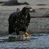 Bald Eagle, sub-adult