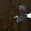 Bald Eagle, thrid year sub-adult