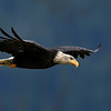 Bald Eagle, thrid year sub-adult