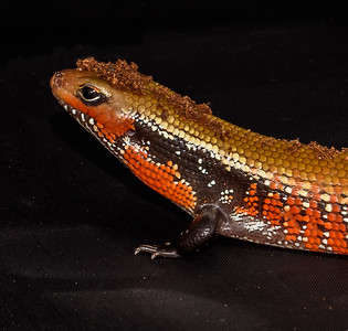 Togo the Togo Fire Skink with a substrate toupee ;)