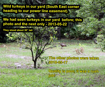 2018-05-17 Turkeys visit our yard!