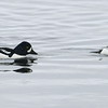 Goldeneyes, Barrow's on the left and Common  on the right