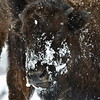 Young Bison, first winter.