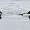 Goldeneyes, Barrow's on the left and Common  on the right.
