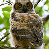 Great Horned Owl, chick