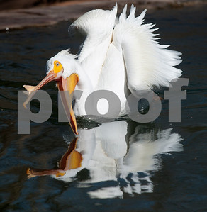 photo by Sarah A. Miller/Tyler Morning Telegraph  An American white pelican opens its beak to drink some water Wednesday afternoon at the Caldwell Zoo in Tyler.
