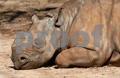 photo by Sarah A. Miller/Tyler Morning Telegraph  A black rhinoceros sleeps in the sun in its exhibit Wednesday afternoon at the Caldwell Zoo in Tyler.