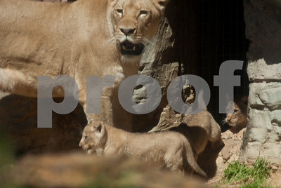photo by Sarah A. Miller/Tyler Morning Telegraph  Njeri's cubs follow her out of the den and in to the public lion enclosure at the Caldwell Zoo in Tyler Wednesday.  The mother lion and her four cubs will be on exhibit for approximately an hour each day at 10 a.m. and 2 p.m.