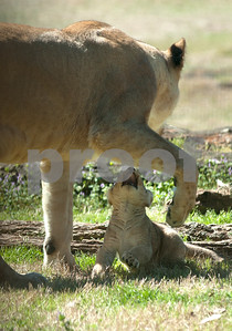 photo by Sarah A. Miller/Tyler Morning Telegraph  Njeri, a female lion, spends time with one of her cubs Wednesday in their enclosure at the Caldwell Zoo in Tyler. The zoo is asking the public to cast ballots three female cubs.
