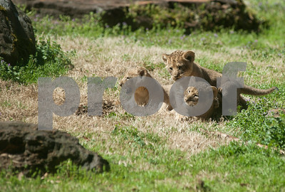 photo by Sarah A. Miller/Tyler Morning Telegraph  Three of the four lion cubs at the Caldwell Zoo in Tyler play outside of the den Wednesday. Njeri, the mother lion, and her four cubs will be on exhibit for approximately an hour each day at 10 a.m. and 2 p.m.