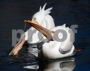 photo by Sarah A. Miller/Tyler Morning Telegraph  Two American white pelicans drink some water from a pond in their exhibit Wednesday afternoon at the Caldwell Zoo in Tyler.