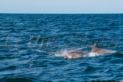 7/7/2018 Atlantic Bottlenose Dolphin