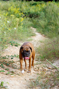 9-24-2010, Photo by CandaceWest.com  BOONE, Boxer.