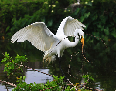 Great Egret Finding the Right Vine