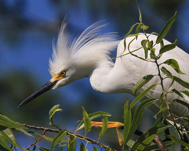 Snowy Egret Protects His Territory