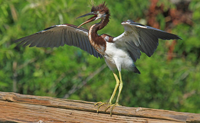 TriColor Heron Trying out his Wings