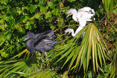 Little Blue Heron and Chicks