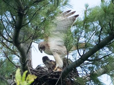 June 18:  The adult female arrives for a visit