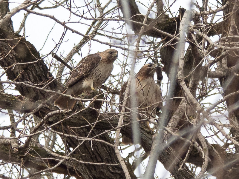 March 29:  A mated pair of Red-tailed hawks