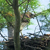 May 11:  Another visit to the nest by the male hawk
