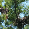 April 22:  Meal time for the nesting female