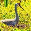 Sandhill Crane Sitting on Nest
