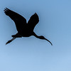 Glossy Ibis in Silhouette