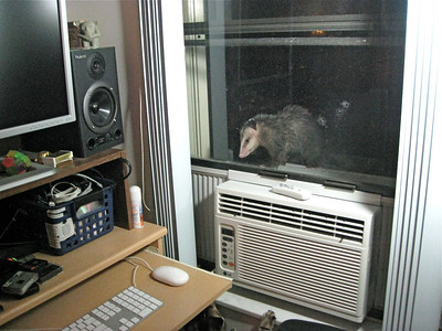 A Possum just popped in to check his Email ... this possum, jumped right up onto our temporaryWindow AC unit in our Computer Room !