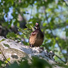 Wood Duck in Tree VA 3 May 2018-2512