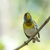 Virginia Birds May 2018-2324