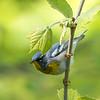 Virginia Birds May 2018-2361