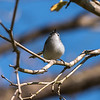 Blue-gray Gnatcatcher Apr 2018-1635