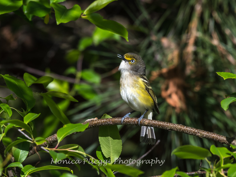 White-eyed Vireo VA 1 May 2018-1636