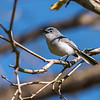 Blue-gray Gnatcatcher Apr 2018-1633