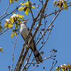 Yellow-Billed Cuckoo VA 1 May 2018-1687