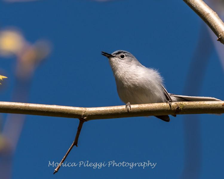 Blue-gray Gnatcatcher Apr 2018-1631