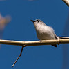 Blue-gray Gnatcatcher Apr 2018-1631