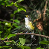 White-eyed Vireo VA 1 May 2018-1638