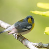 Virginia Birds May 2018-2302