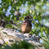 Wood Duck in Tree VA 3 May 2018-2509