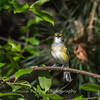 White-eyed Vireo VA 1 May 2018-1640
